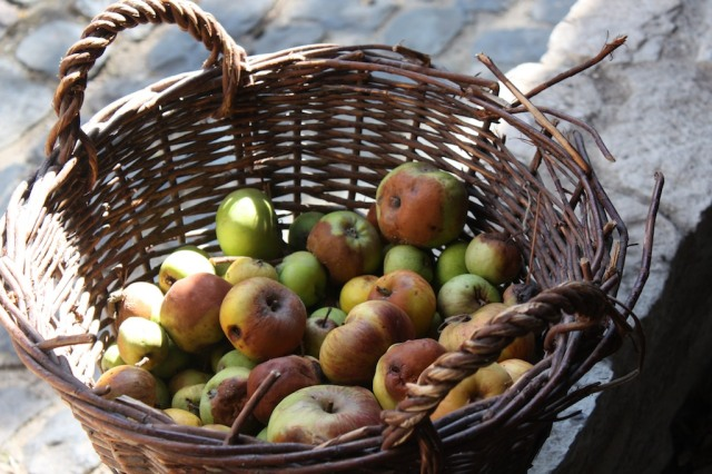 Windfall apples are everywhere